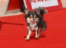 CH. Zalerosa de Dasilva, Chihuahua de Pelo Largo
