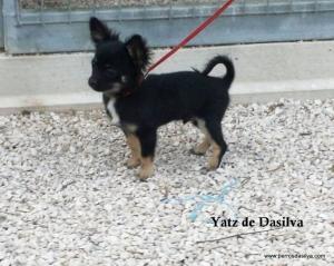 Yatz Chihuahua de pelo largo de Dasilva